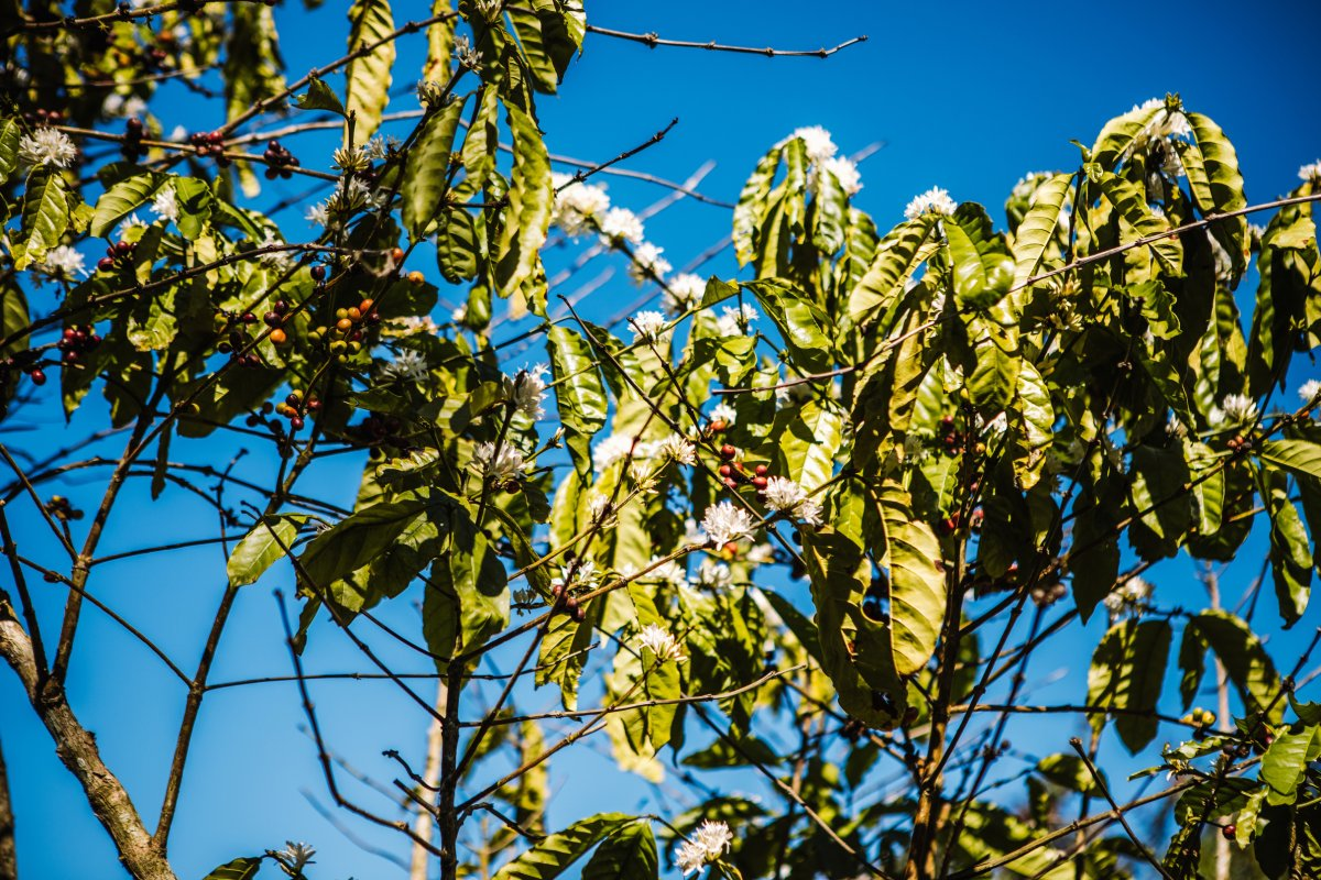 Coffee beans on a tree at Cafe Gran Batey in Utuado