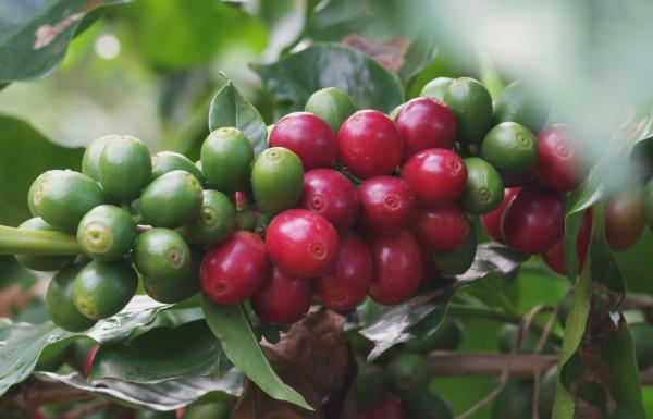A picture of locally grown coffee beans.