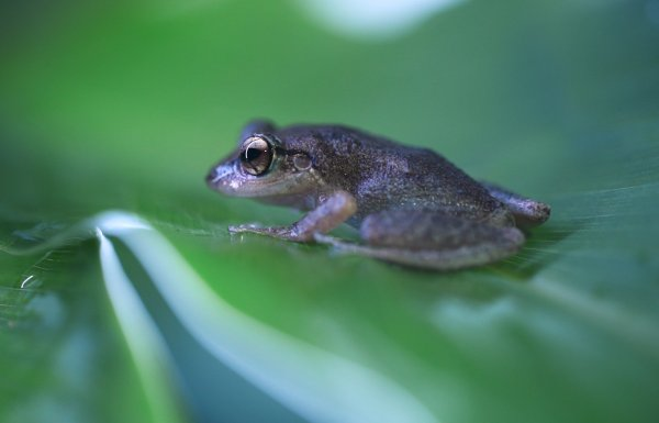 The coquí frog.