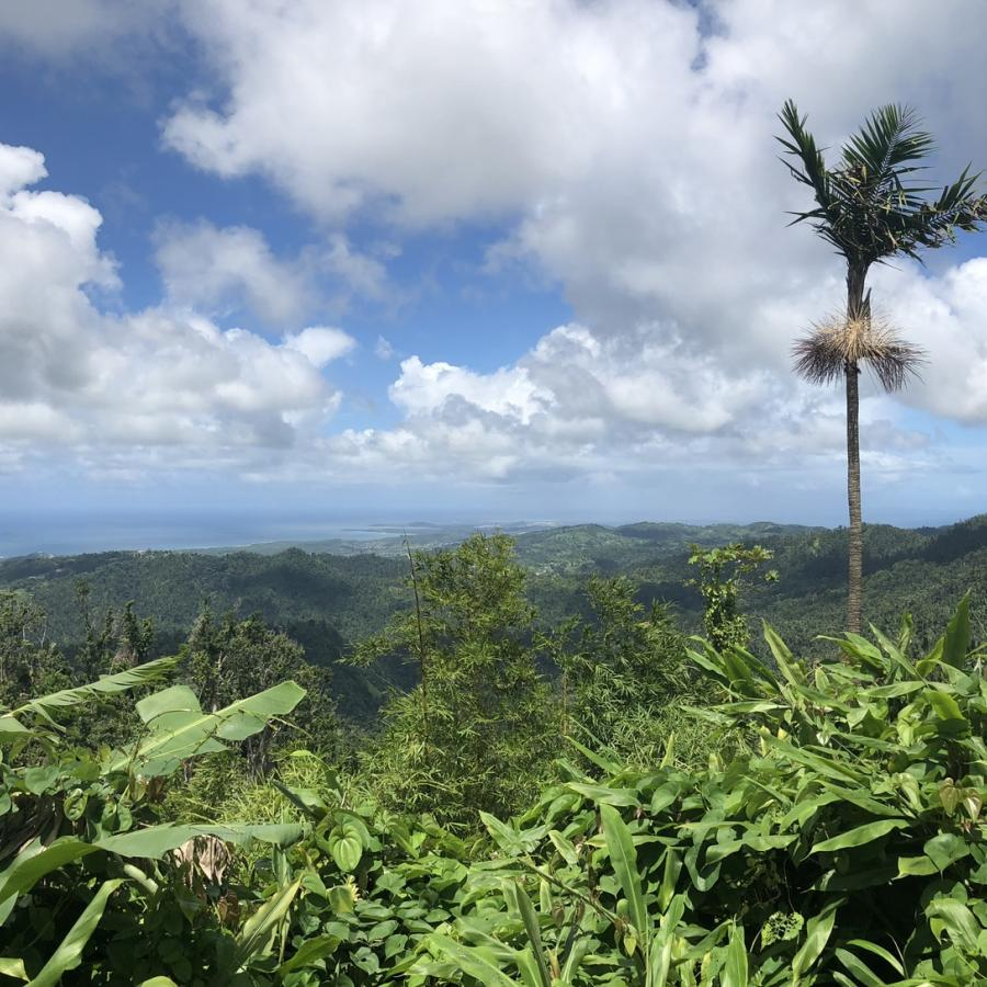 A palm tree towers over a lush landscape at El Yunque National Forest.