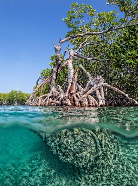 Underwater view of the mangrove roots that are part of Cayo Aurora, aka Gilligan's Island.
