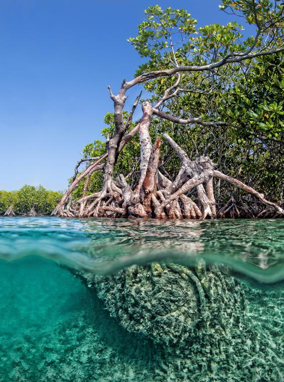 Underwater view of a mangrove in Gilligan's Island.